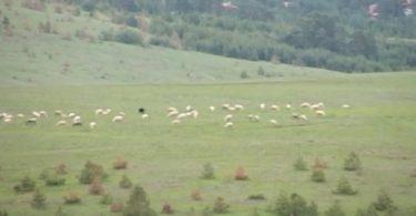 ovce-na-pasi