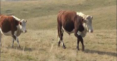uzgoj krava.mpg.Still001
