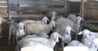 Ovce i TV pretplata.mpg.Still001